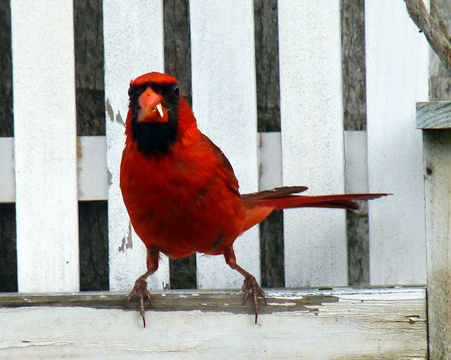 Cómo lidiar con los grackles - BirdWatching