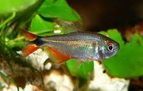 """Peixamento da Codevasf insere espécies nativas do """"Velho Chico"""" na 132ª Festa do Bom Jesus dos Navegantes de Penedo"""