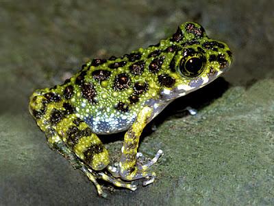 Ishikawa Frog