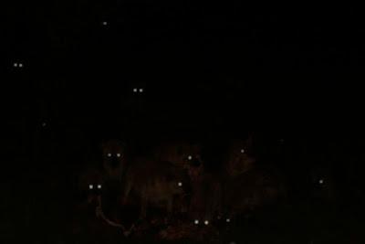 Meeting the Gangrel Primogen (Star) HyenaEyesInDark-SM