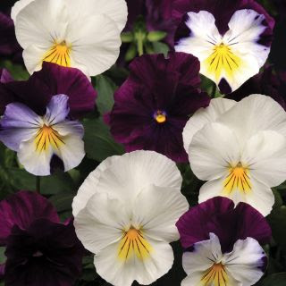 Pansy - Berries & Cream
