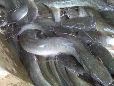 Tentang Ikan Lele