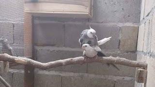 Jual burung falk jenis white face