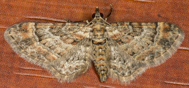 Double-striped Pug, Gymnoscelis rurifasciata.  In my computer room in Hayes on 14 August 2012.