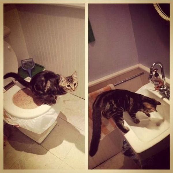 Funny cats - part 91 (40 pics + 10 gifs), cat takes a dump on toilet