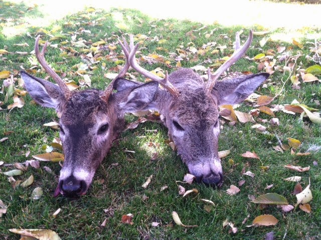 Two Point White Tail