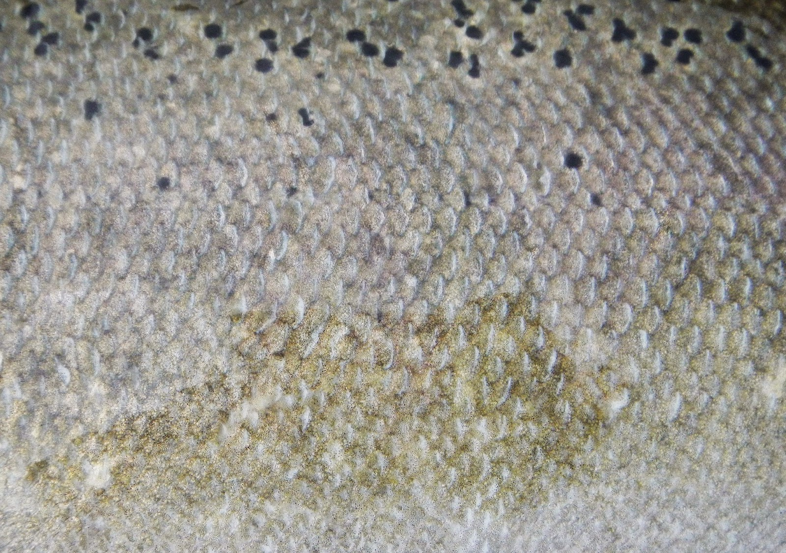 Chinook Salmon Skin