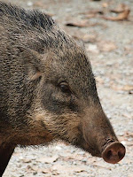 Wild boar - Pulau Ubin