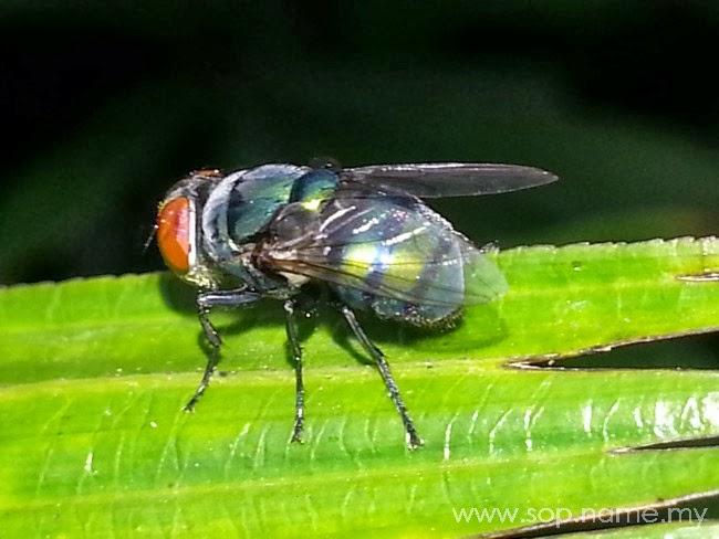 WW - Gambar Macro Lalat Hijau