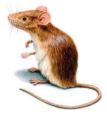 cara membasmi tikus secara alami