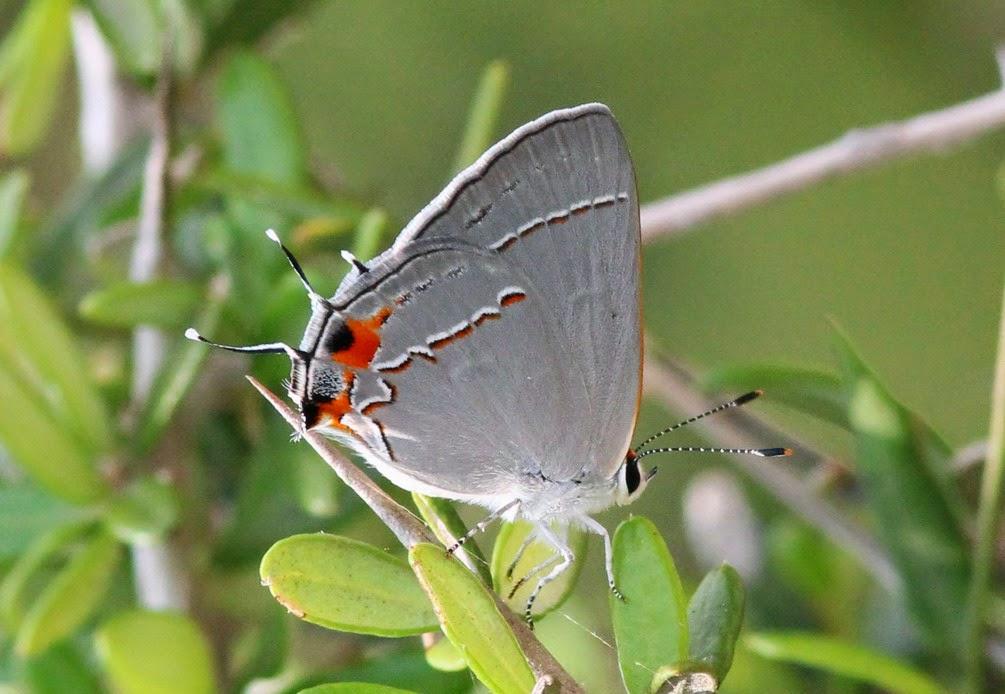 Rio Grande Valley Butterflies: Definite Patch at Palo Alto, 5/9/14