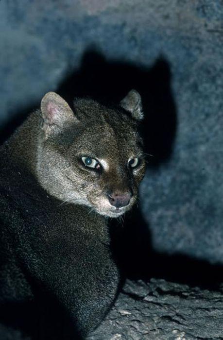 Pictures Of Wild Cat Jaguarundi Damn Cool Pictures