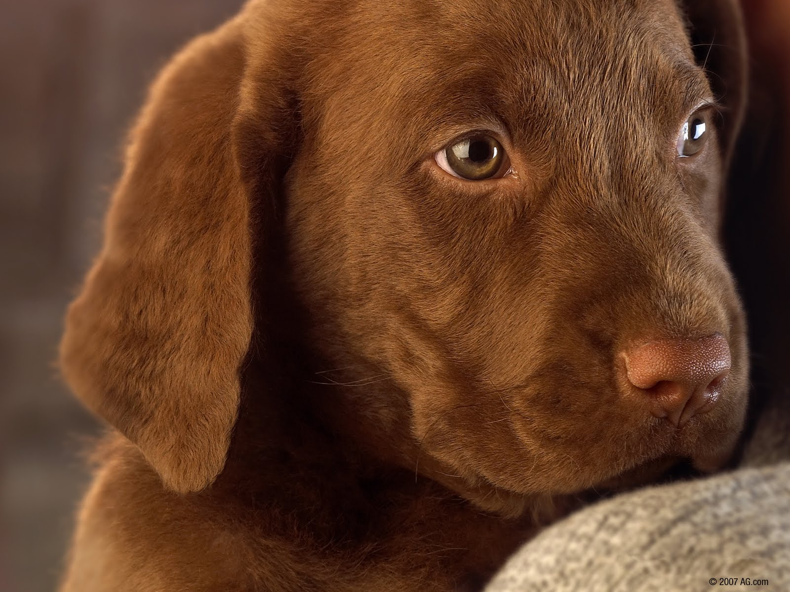 Chocolate Lab Puppies picture wallpaper