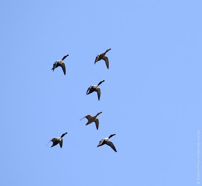 Широконоска (Anas clypeata)