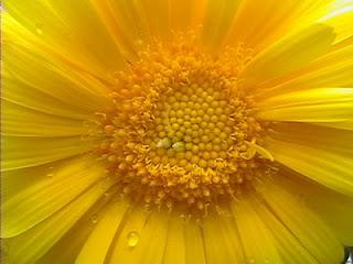 margarita flor amarilla