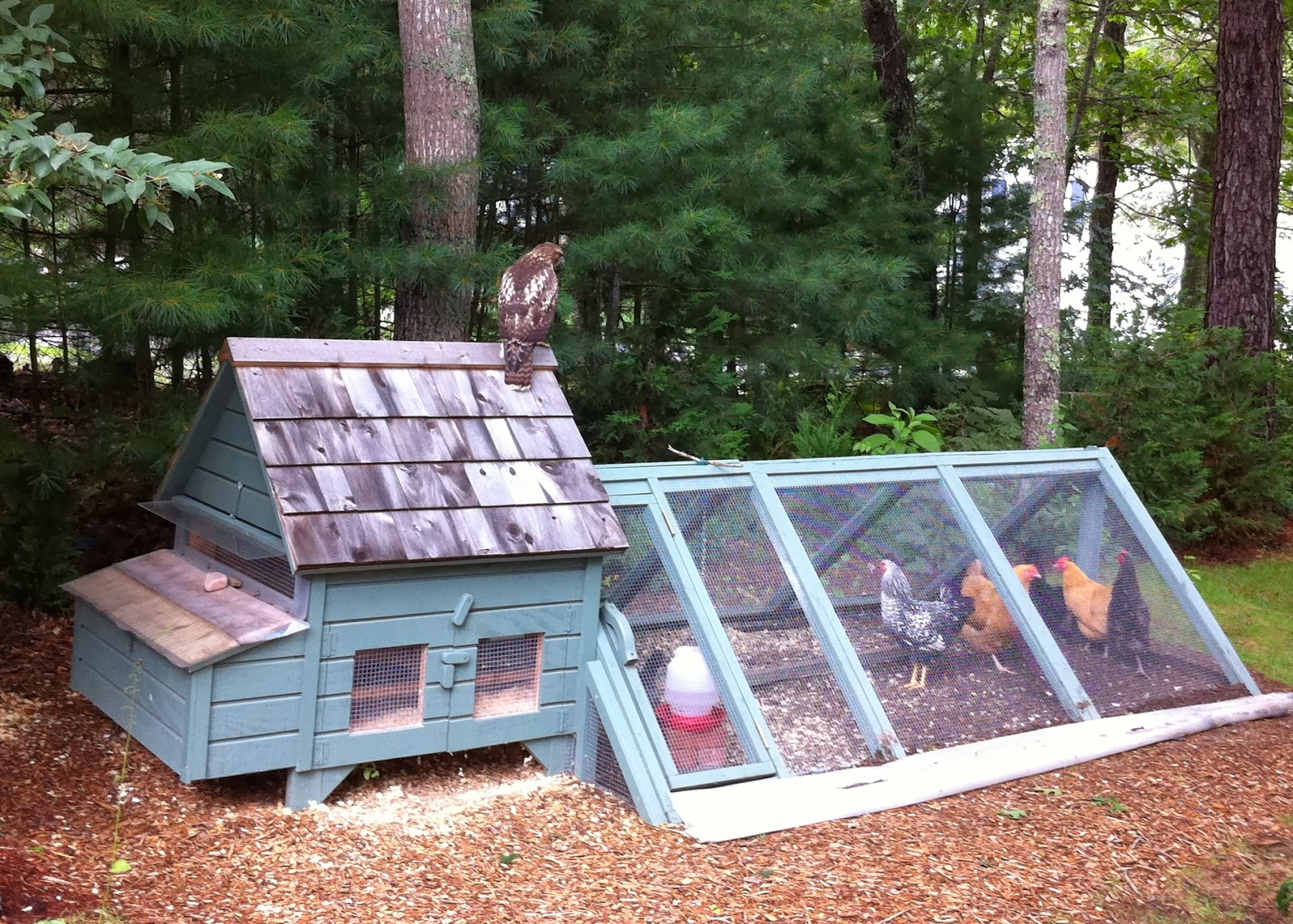 Thank Goodness The Girls Were Safely In The Coop And Run During This  Juvenile Red Tailed Hawku0027s Visit.