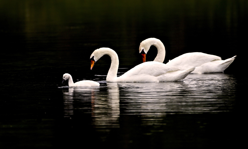 Swan Family-Together