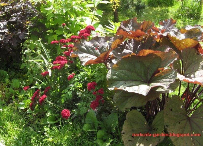 Лигулярия выращивание 13