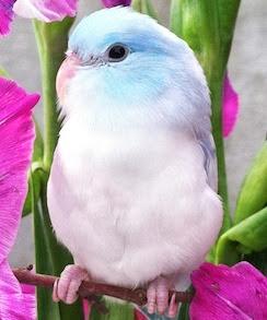 Parrotletbirds Avairy