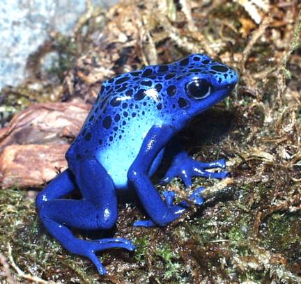 Most Amazing Almost Extinct Animals Frogs Amphibians