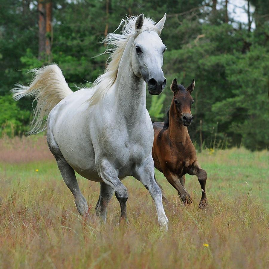 caballo blanco y potrillo fotografias de caballos blancos caballo