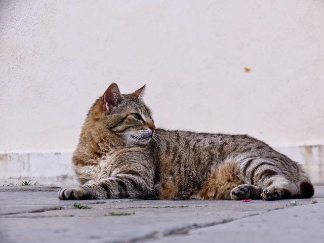 Cat coy