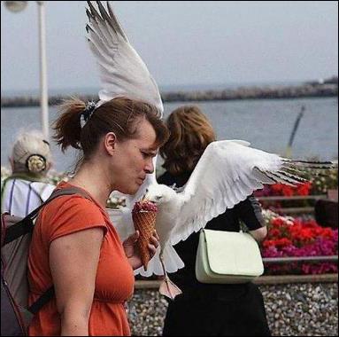 طائر النورس ينقض على الايس كريم