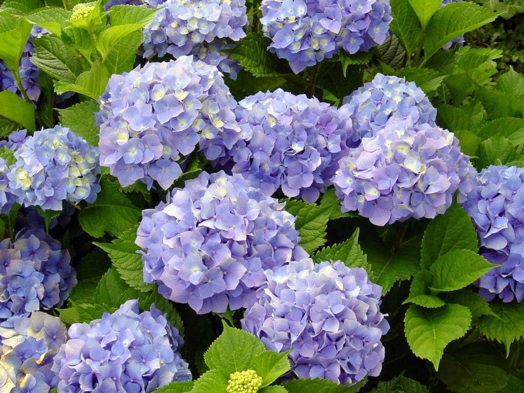 Arte y jardiner a plantas perennes vistosas para for Arbustos perennes para jardin
