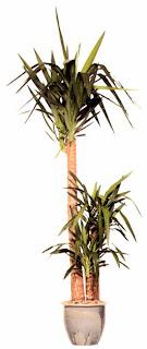 Юкка слоновая (Yucca elephantides) требует как можно больше света.