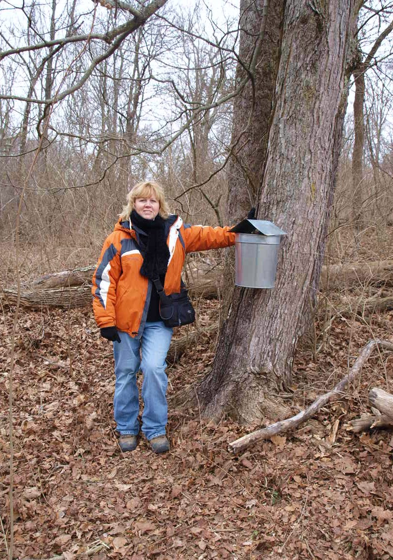 ohio thoughts sugaring or tapping maple trees