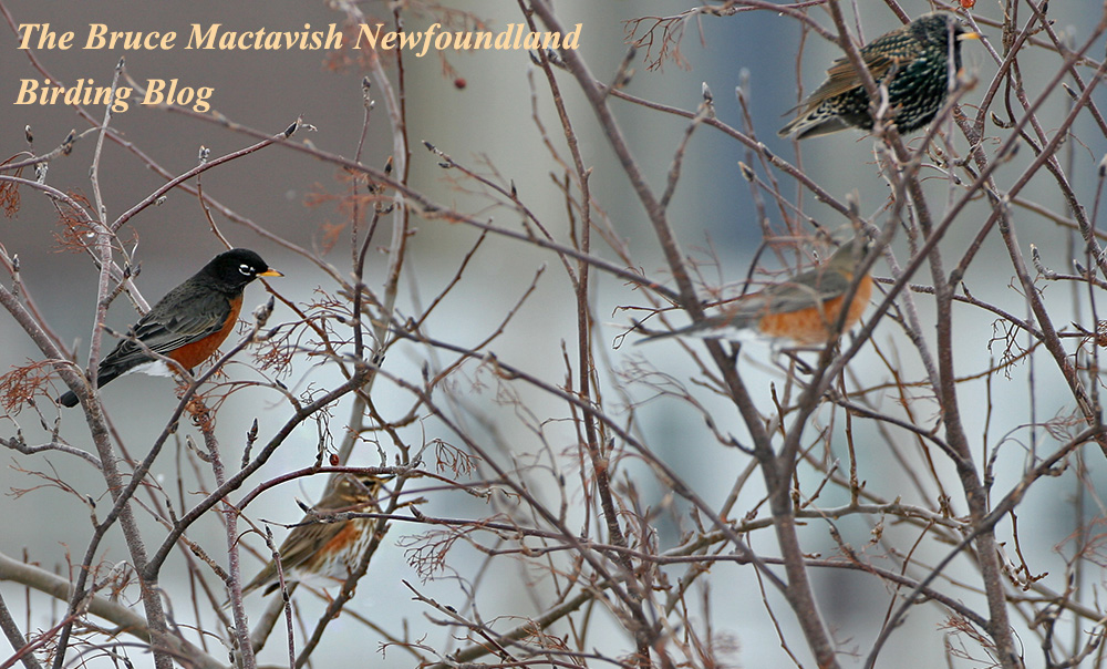 The Bruce Mactavish Newfoundland Birding Blog