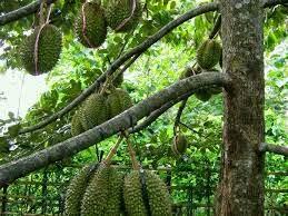 4 manfaat tanaman durian