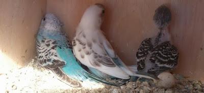 Tips Merawat Burung Parkit Agar Cepat Bertelur