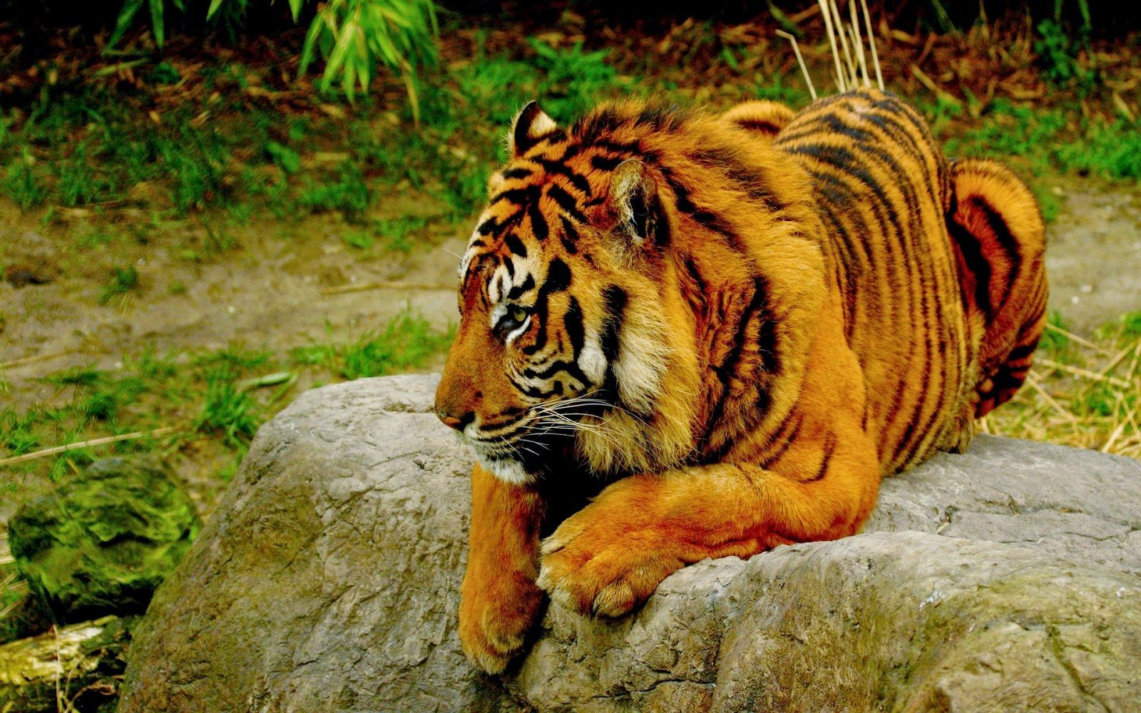 lovable images: wild tiger hd wallpapers free download || cute tiger