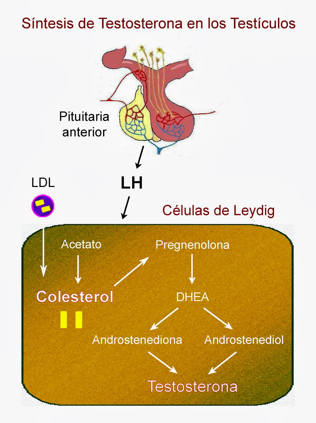 La testosterona y otros andrógenos se sintetizan en las células de Leydig de los testículos