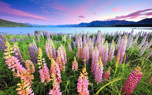 Lupin flowers, Lake Tekapo, New Zealand