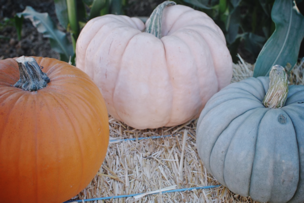 pink and blue pumpkins
