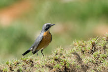 White-throated Robin, Mt. Hermon, May 2013