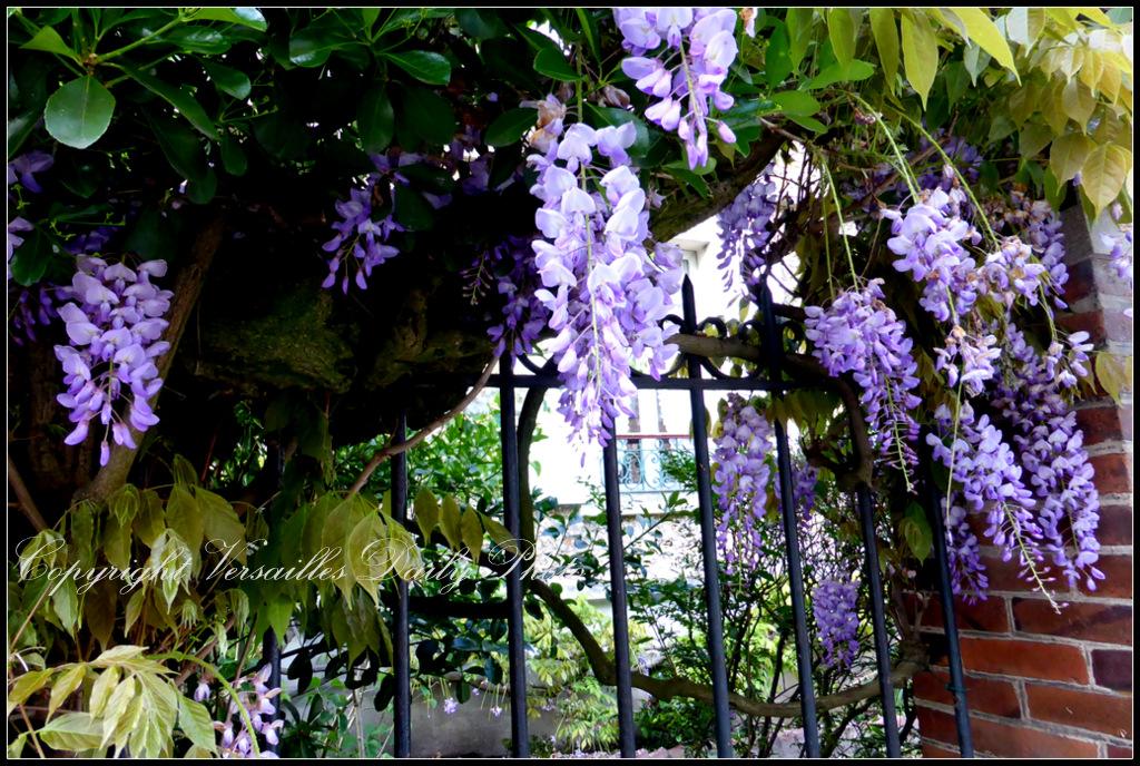 Wisteria glycine Versailles-Montreuil