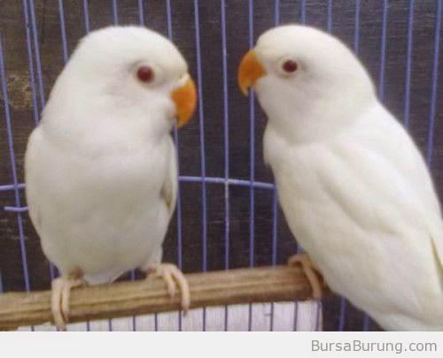 Foto Burung Lovebird Albino Jantan