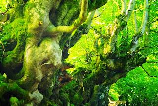 Caso, ruta a la cascada del Mongayu, bosque del monte Saperu, tronco