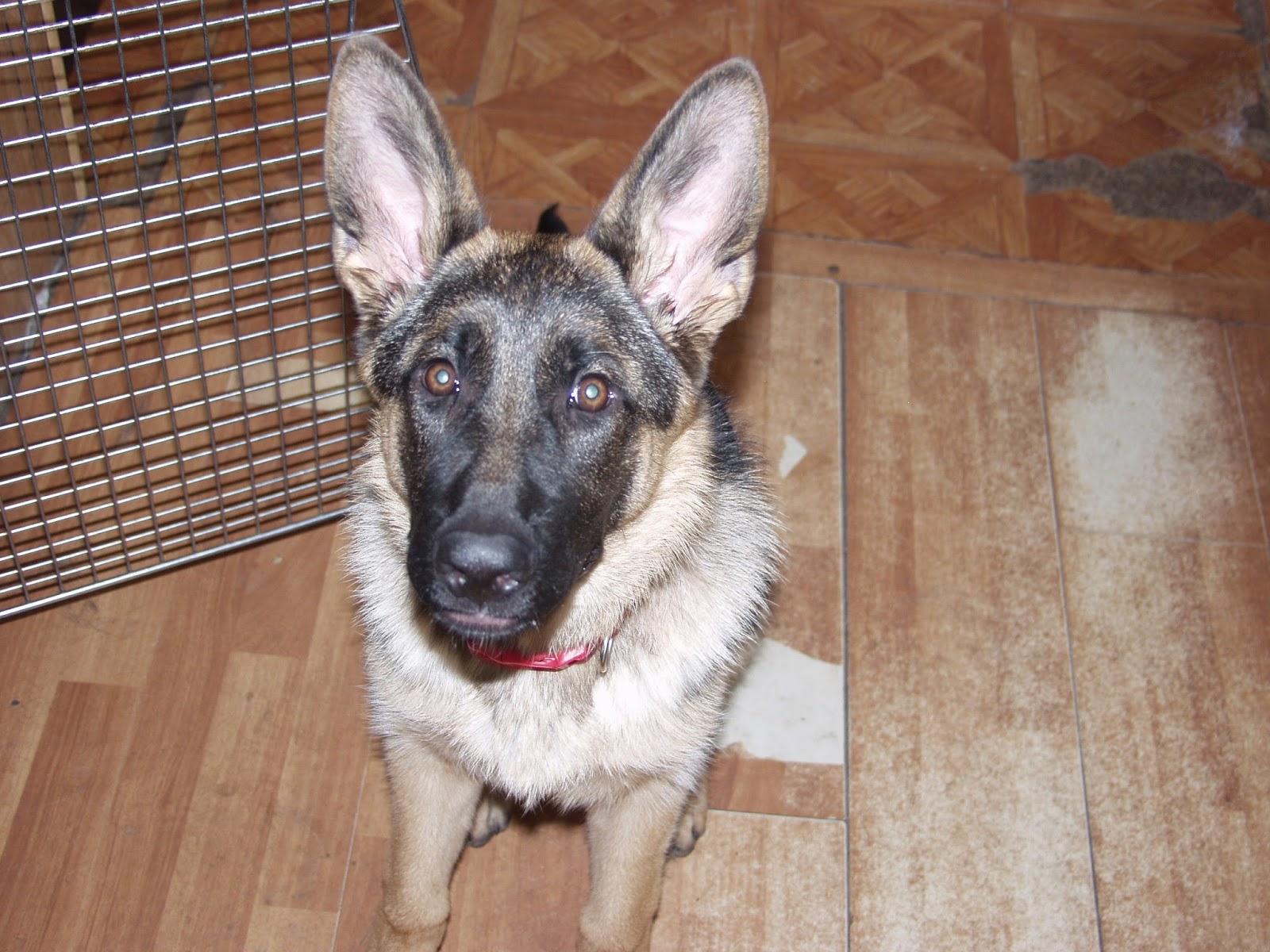Dakota - service dog in training