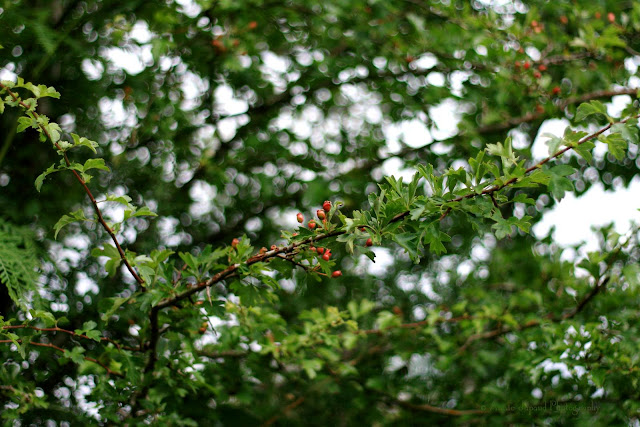 beautiful image of hawthorn plant
