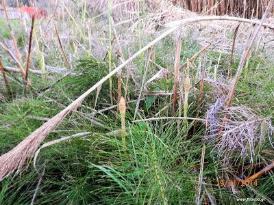 Πολυκόμπι-Equisetum arvense