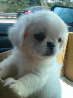Pekingese Puppy Picture