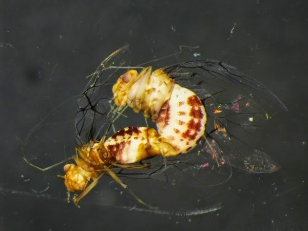 Image showing N. curvet mating
