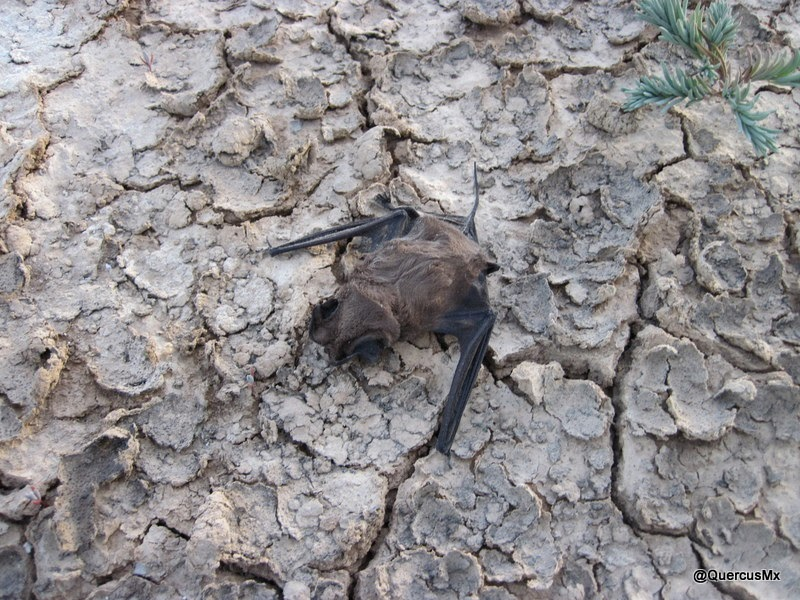 El murciélago que se perdió en la laguna de Sayula