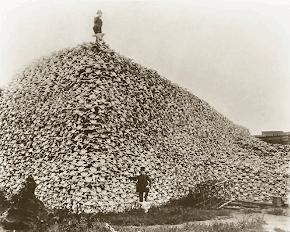 Colline de crânes de bisons d'Amérique
