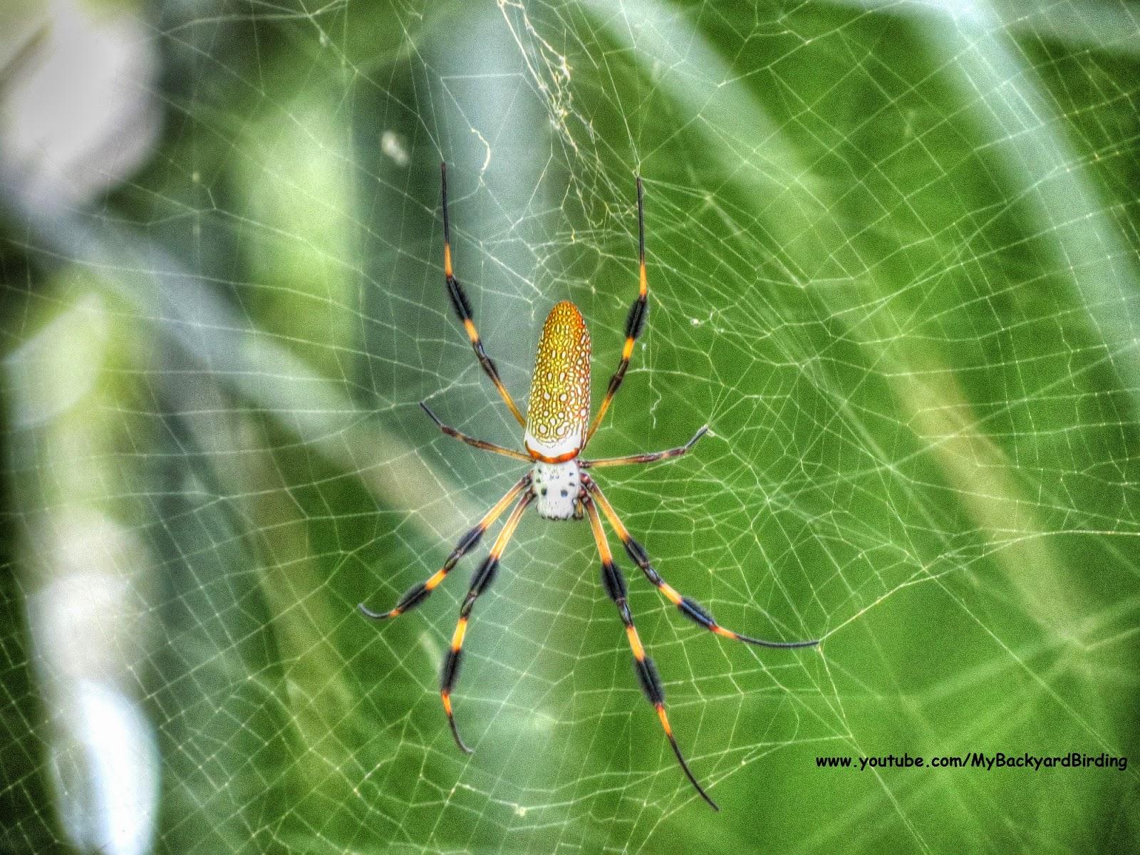 backyard birding and nature golden silk orb weaver spider in