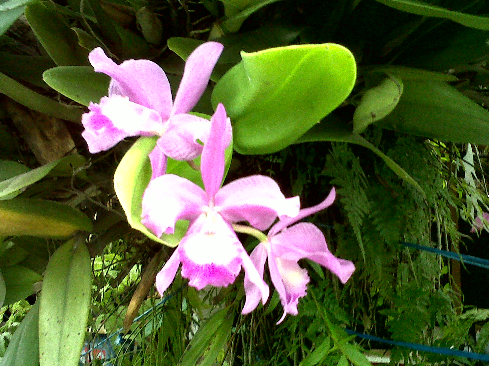 Orchid Flower, Orchid Plant, Orchid Species, Orchid Hybrid ...